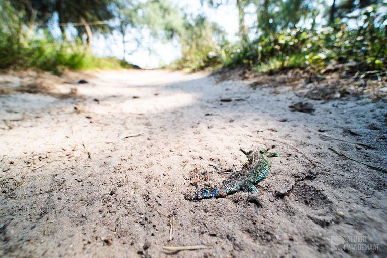 Een doodgereden zandhagedis op De Sprengenberg, Sallandse Heuvelrug Beeld Albert van de Maat.