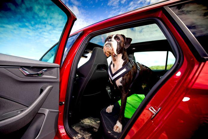 Gaat de hond op de achterbank? Kies dan voor een stevig tuig met zachte, brede banden, zoals Boxer Roxy hier draagt.