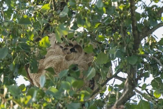 Het nest dat vorig jaar in Veenendaal werd aangetroffen.
