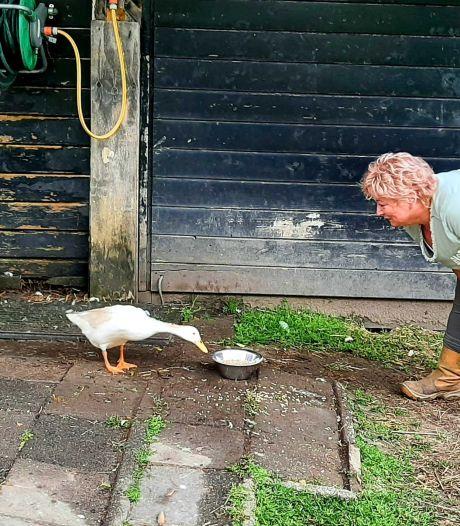 Dierenweide moet kippen, eenden en zwanen laten vergassen door vogelgriep: 'Ze zijn voor ons als huisdieren'