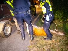 Bestuurder gewond, hinde dood bij aanrijding tussen 't Harde en Epe