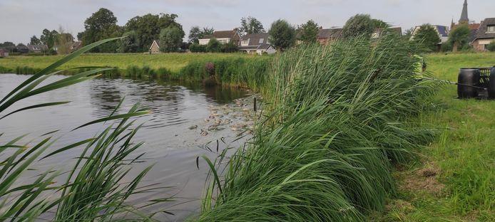 Veel dode vissen aan Kleine Schans in Terheijden.