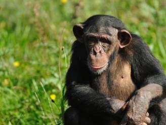 'Vrouwenpraat' bestaat ook bij chimpansees