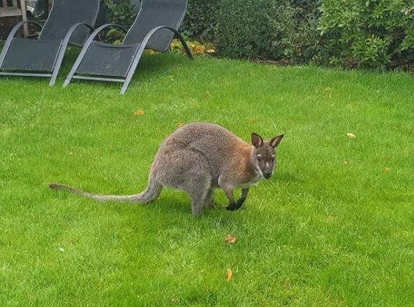 De wallaby dook ook op in een tuin