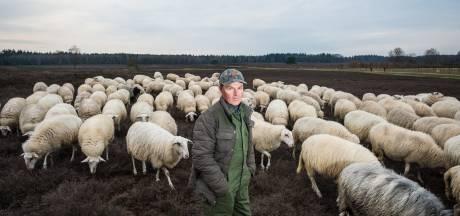 Loslopende honden blijven in Epe plaag voor herder Lammert: 'Ze veroorzaken meer onrust dan wolven'