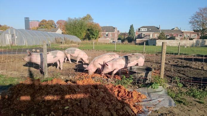 Voor de appelpulp die overblijft is een mooie bestemming gevonden. Het wordt aan de varkens gevoerd.