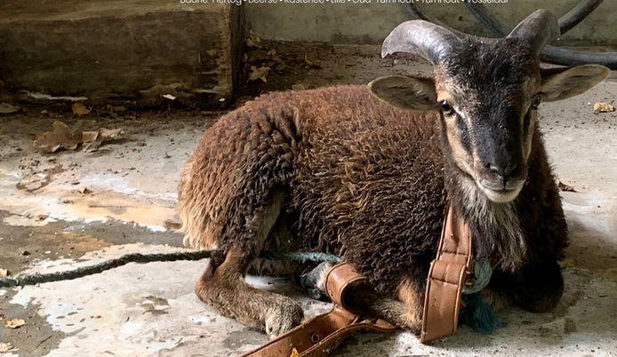 De politie wist het ronddolende schaap (of was het een verdwaalde geit?) te vangen.