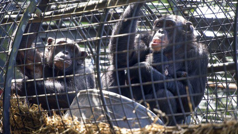 Unlocking the Cage: zijn chimpansees ook personen? Beeld anp
