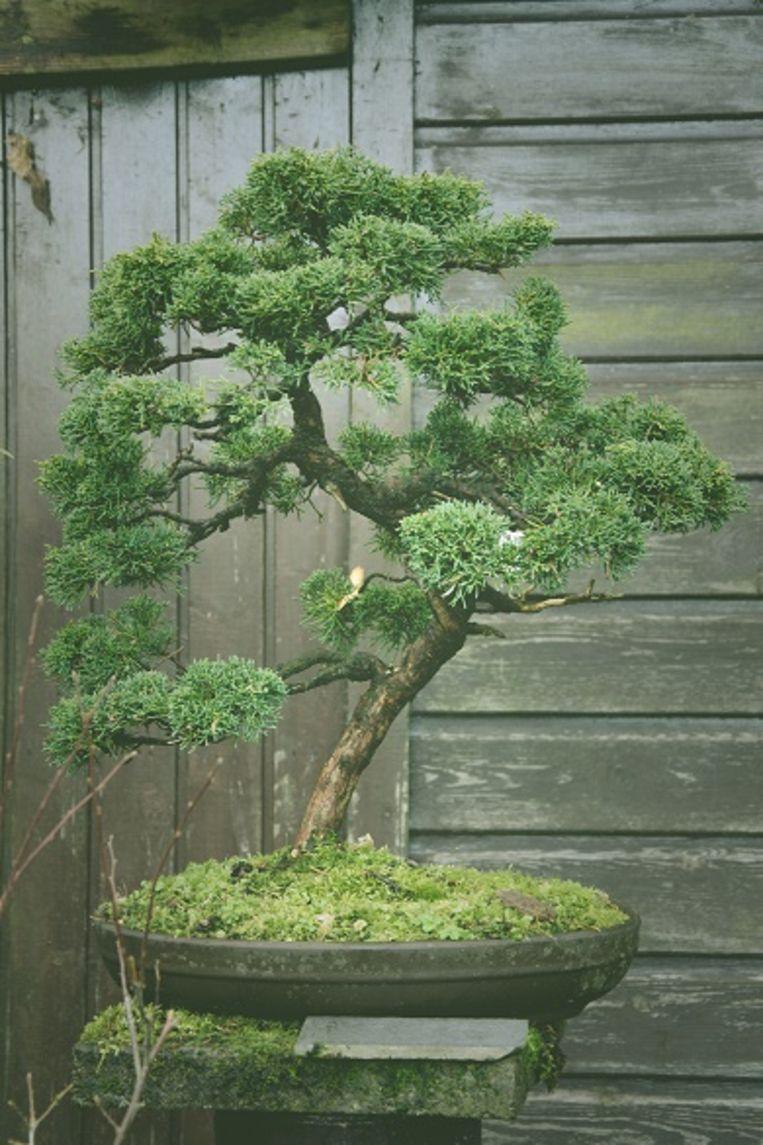 André Callaert doet een oproep om uit te kijken naar de gestolen bonsai.