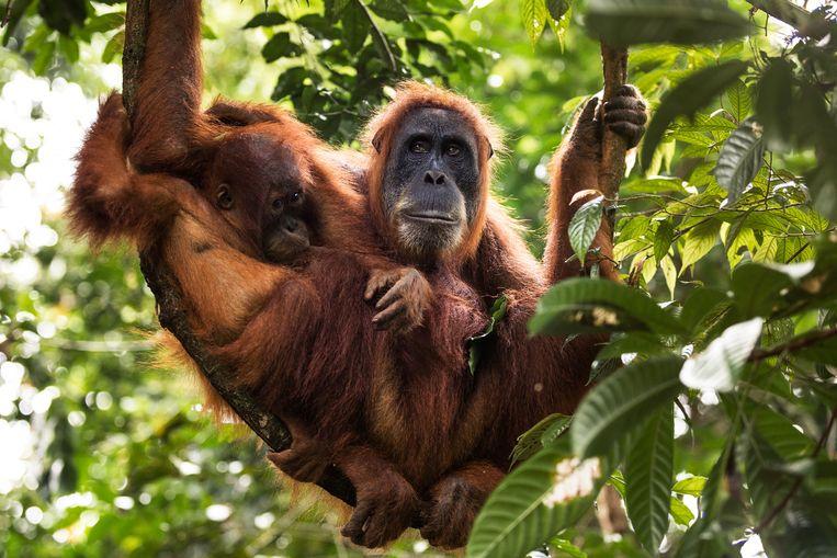 Een wilde oerangoetang geeft haar baby de borst in een tropisch regenwoud in Sumatra, Indonesië. Druk van de mens op de natuur heeft sinds 1970 geleid tot een wereldwijde daling van populaties wilde dieren met gemiddeld 60 procent.