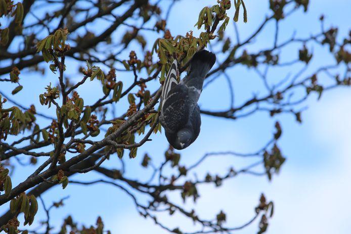 Duif vast in boom aan Papsouwselaan in Delft.