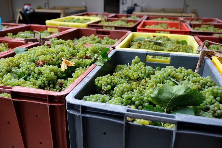 Bakken met druiven staan klaar voor de persing. In één fles champagne gaat 1,3 kilogram druiven. Beeld Remon Haazen