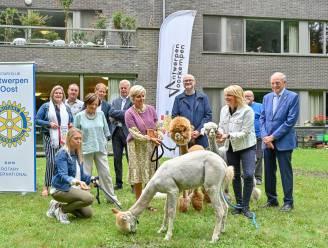 """Woonzorgcentrum krijgt drie alpaca's van twee Rotaryclubs: """"Deze dieren werken therapeutisch"""""""