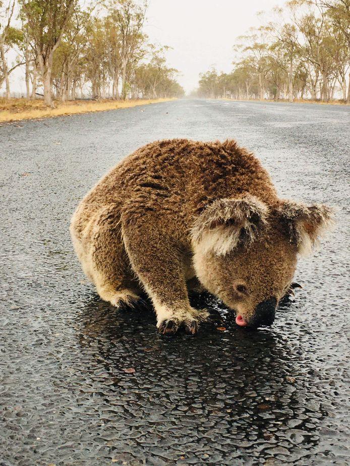 De dorstige koala