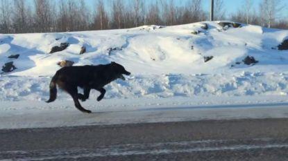 En plots lopen er zwarte wolven naast je auto