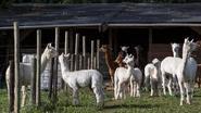 """Echt iedereen wil alpaca"""