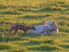 Commotie over jacht op jonge  vosjes in Markdal