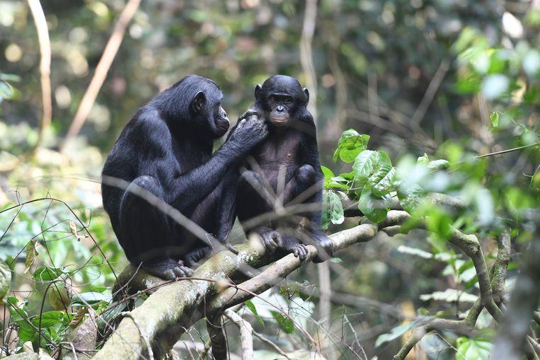 Een jong bonobomannetje wordt verzorgd door zijn moeder in een natuurpark in Congo. Beeld Martin Surbeck