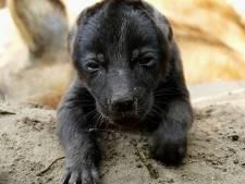 Twee gevlekte hyena's geboren in Safaripark Beekse Bergen
