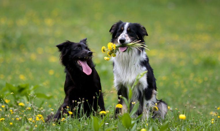 Honden gaan nu óók op date via een speciale app