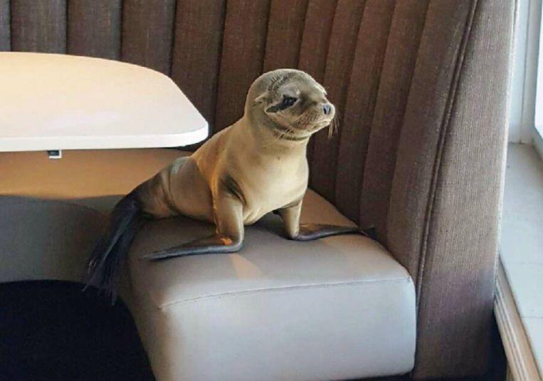 Zeeleeuw komt koekeloeren in restaurant