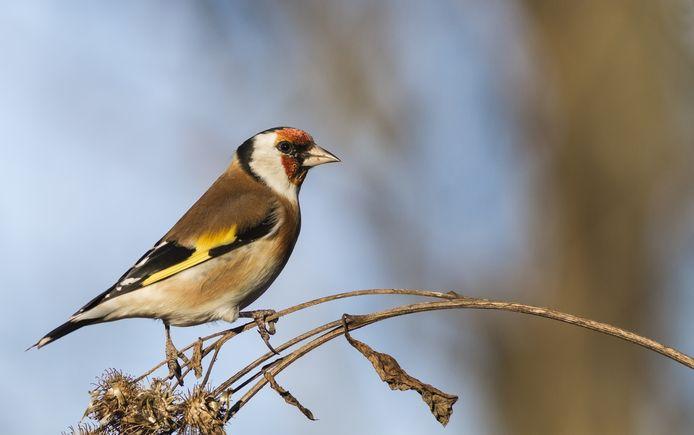 European goldfinch putter puttertje