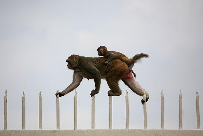 Archiefbeeld van apen in New Delhi.