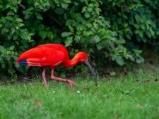 Zeldzame Zuid-Amerikaanse rode ibis strijkt neer in Hofpark Wateringen
