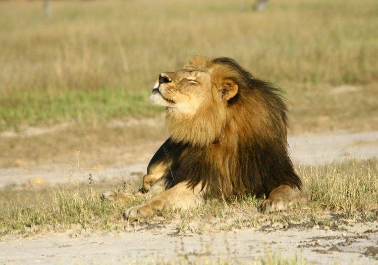 De leeuw Cecil. Met het doden van dit dier begon de ophef over de jachtsafari. Beeld reuters