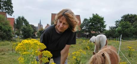 De dubbelrol van het oprukkend kruiskruid:  prachtige bloemetjes, maar dodelijk voor dieren