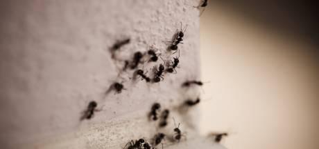 Krioelt het in jouw tuin van de mieren? Dit is hoe je er op een 'gezellige' manier vanaf komt