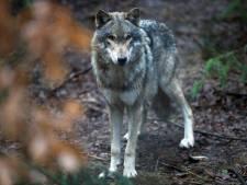 De wolf heeft Nederland massaal ontdekt (en er komen er nog veel meer)