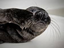 Pieterburen roept op afstand te houden van zeehonden: 'Pup had bij de moeder kunnen opgroeien'
