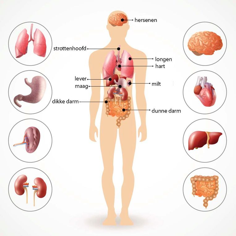 Het antwoord op de vraag: waar zitten welke organen in je lichaam? Beeld Getty Images