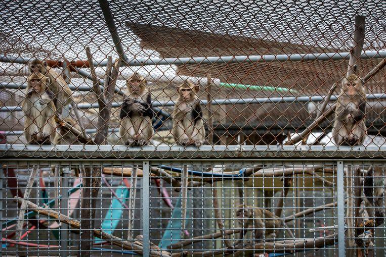 Ook deze apen worden besmet met corona, worden ziek en daarna gedood, om vervolgens ontleed te worden. Beeld Werry Crone