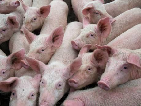 Voedselbos wil niet in de stank zitten, dus varkenshouder mag niet uitbreiden