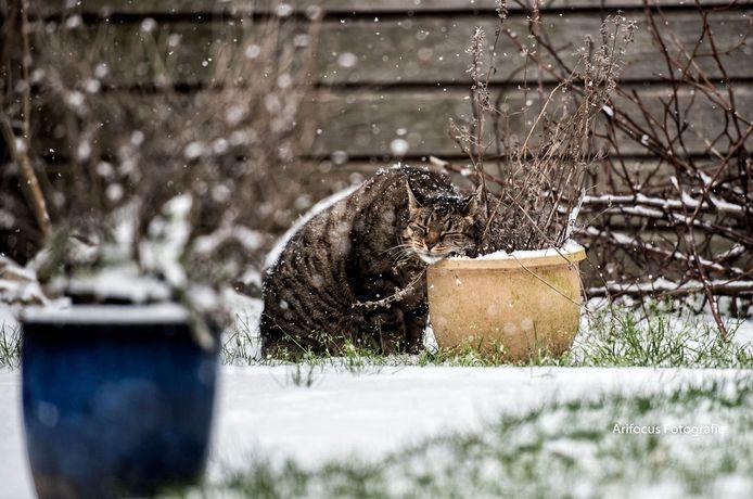 Deze kat heeft het prima naar zijn zin in de sneeuw, kopjes gevend aan een bloempot in een tuin in Elst.