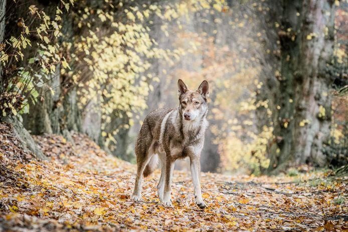 Themabeeld: een Saarlooswolfhond van Lisa van Hoof (40) uit Essen-Wildert. Noot: het is niet deze wolfhond die de waarnemingen van de echte wolf vertroebelt.