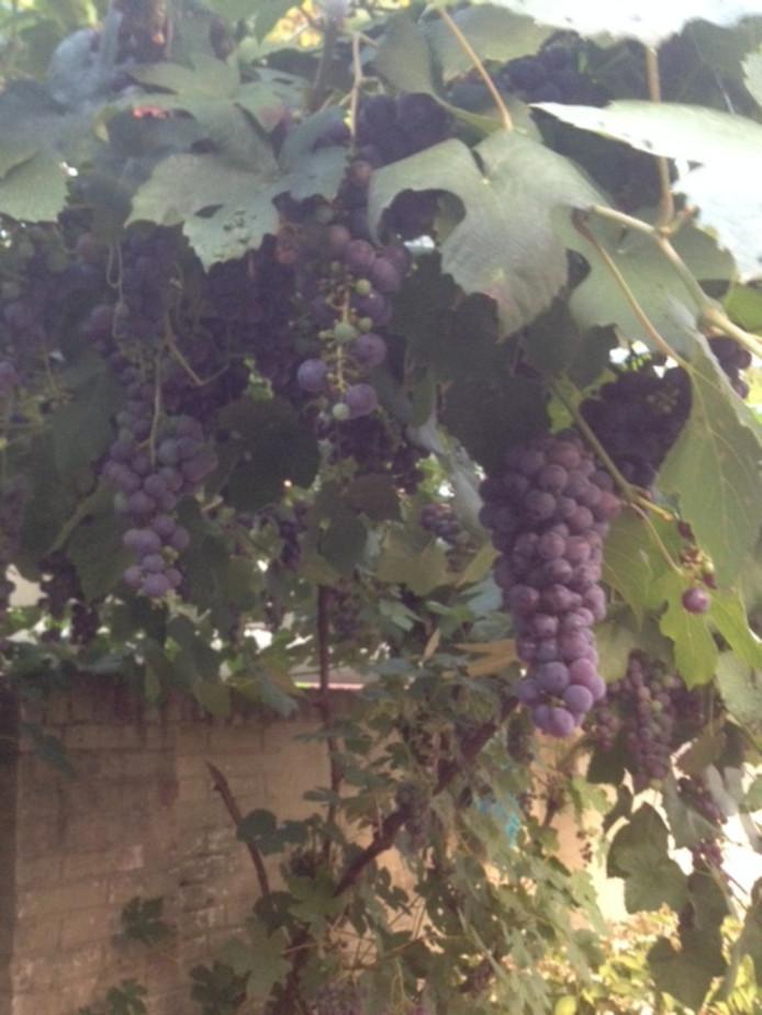 De hittegolf zorgt voor een fantastische druivenoogst bij Tilburger Harrie Ceelen.