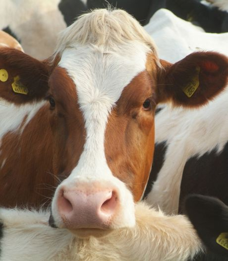 Ruzie over melkveebedrijf in Baarle-Nassau: 'Dak van de nieuwe stal ligt er eind dit jaar op'