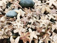 Bijzonder: Duizenden zeesterren aangespoeld op strand van Maasvlakte