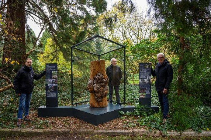 De knobbelstam kreeg in het Arboretum een speciale plaats.