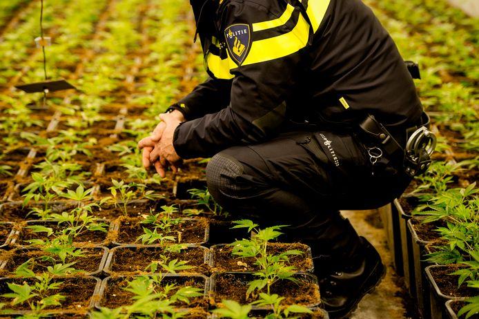 Een politieagent inspecteert hennepstekjes in een hennepkwekerij tijdens een politieactie. Foto ter illustratie.