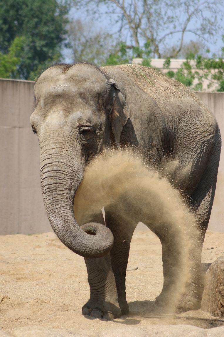 Dumbo in Planckendael. Beeld Kris Lamon