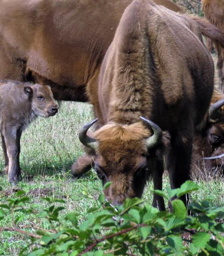 Straks kun je in Zeeland bizons spotten