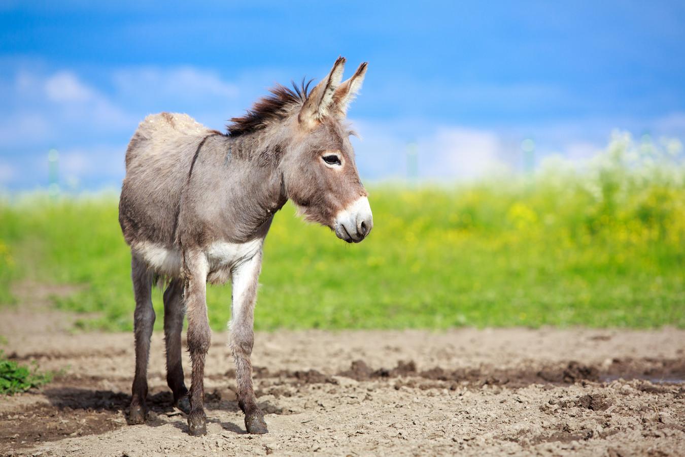 Een ezel.