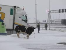 Waarom moest A4-koe worden doodgeschoten? Dat vragen boer Vincent en Animal Rights zich af