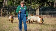 Erfgoed op vier poten: Frans krijgt pluim én erkenning voor zijn zeldzame schapen