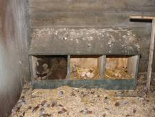 Tweede 'Vughtse wasbeer' opgehaald door dierenambulance; vrijwilliger in zijn hand gebeten