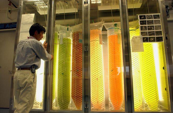 Een onderzoeker bestudeert krill in aquaria van de Australian Antarctic Division.